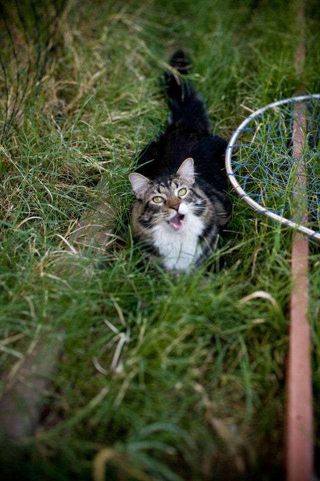 Shamui_cat-sits-in-the-grass-on-a-sunday-afternoon
