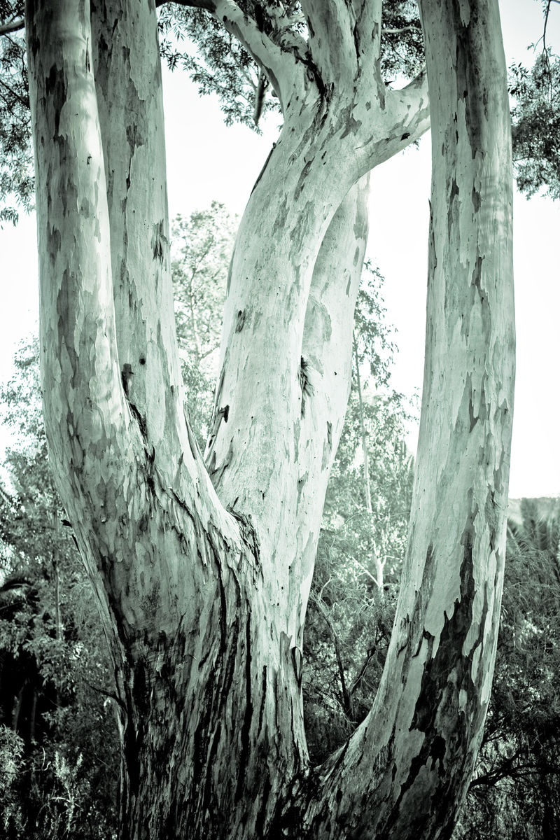 Giant-eucalyptus-planted-in-the-spring-of-1926