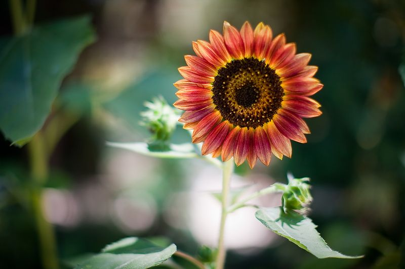 Red-and-gold-sunflower