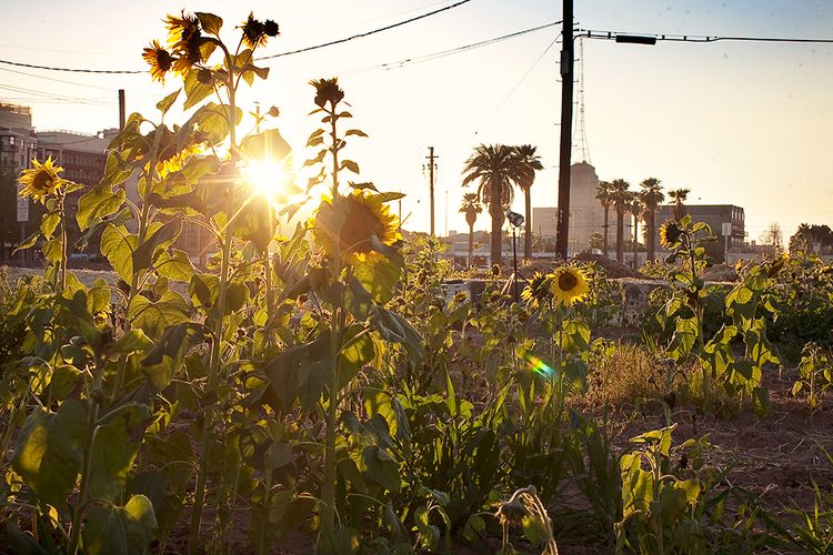 Sunflowers-and-the-westward-ho